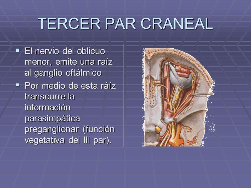 TERCER PAR CRANEAL El nervio del oblicuo menor, emite una raíz al ganglio oftálmico.