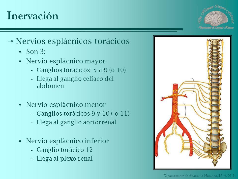 Inervación Nervios esplácnicos torácicos Son 3:
