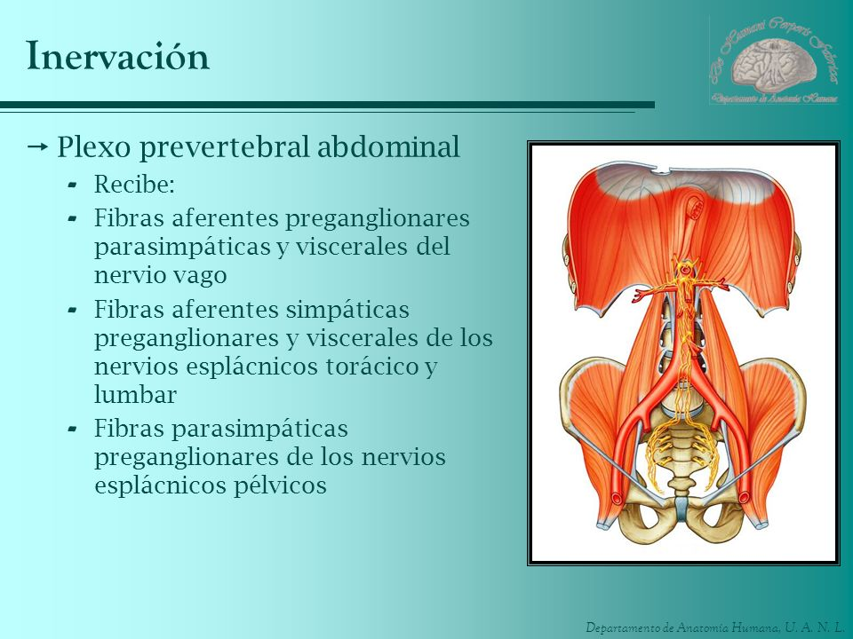 Inervación Plexo prevertebral abdominal Recibe: