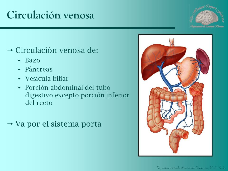 Circulación venosa Circulación venosa de: Va por el sistema porta Bazo