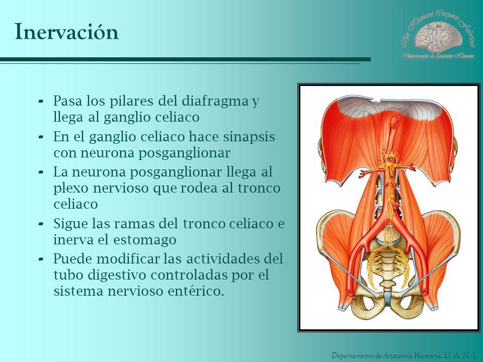 Inervación Pasa los pilares del diafragma y llega al ganglio celiaco