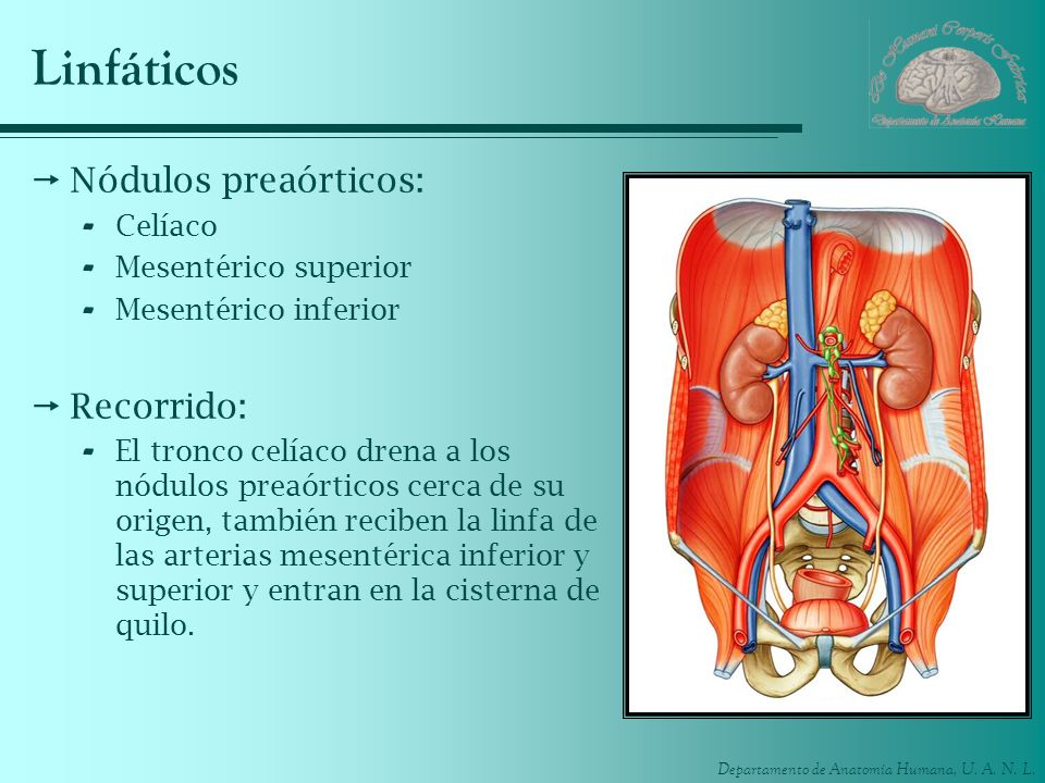 Linfáticos Nódulos preaórticos: Recorrido: Celíaco