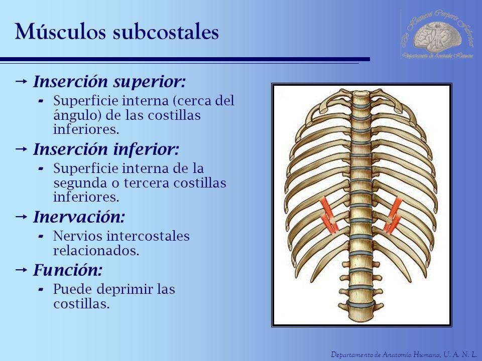 Músculos subcostales Inserción superior: Inserción inferior: