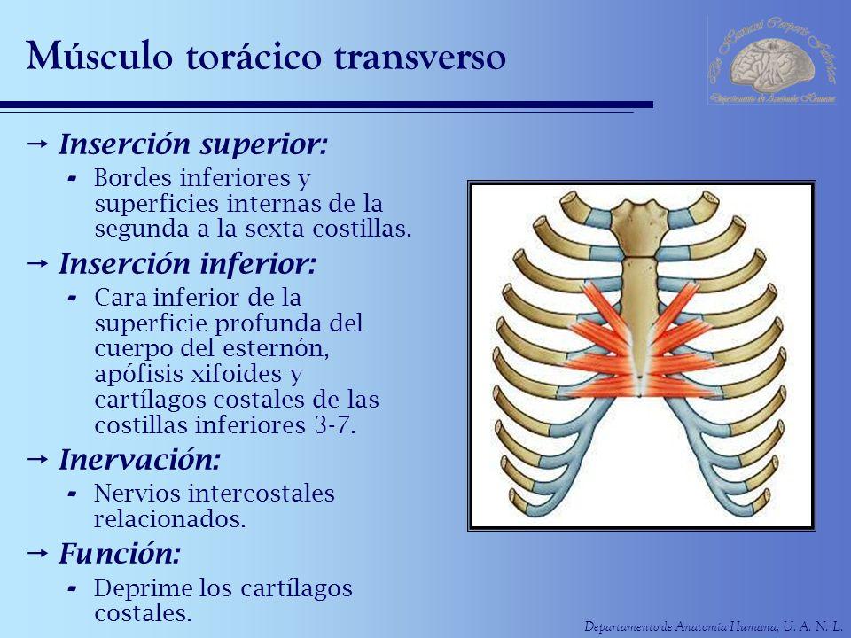Músculo torácico transverso