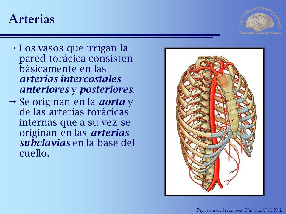 Arterias Los vasos que irrigan la pared torácica consisten básicamente en las arterias intercostales anteriores y posteriores.