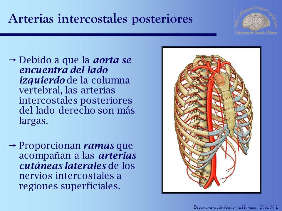 Arterias intercostales posteriores