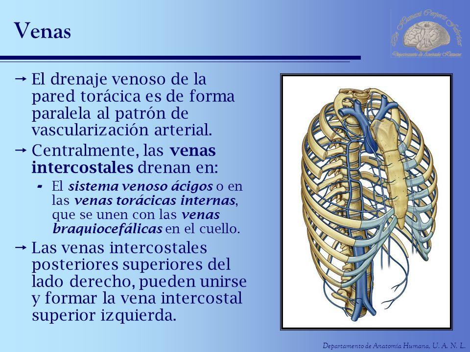 Venas El drenaje venoso de la pared torácica es de forma paralela al patrón de vascularización arterial.