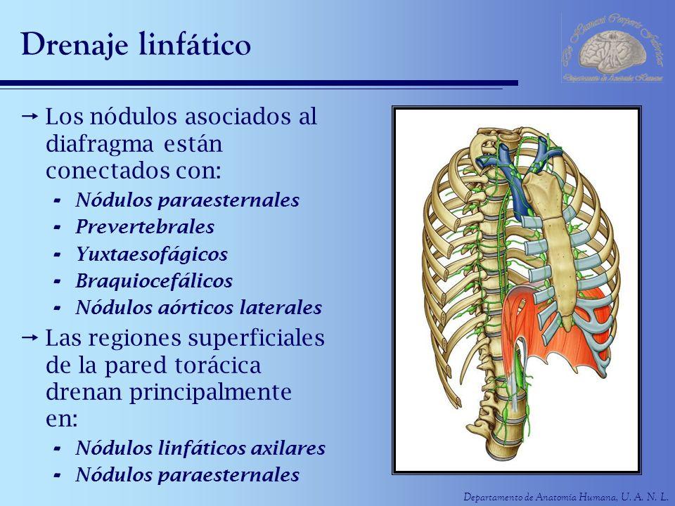 Drenaje linfático Los nódulos asociados al diafragma están conectados con: Nódulos paraesternales.