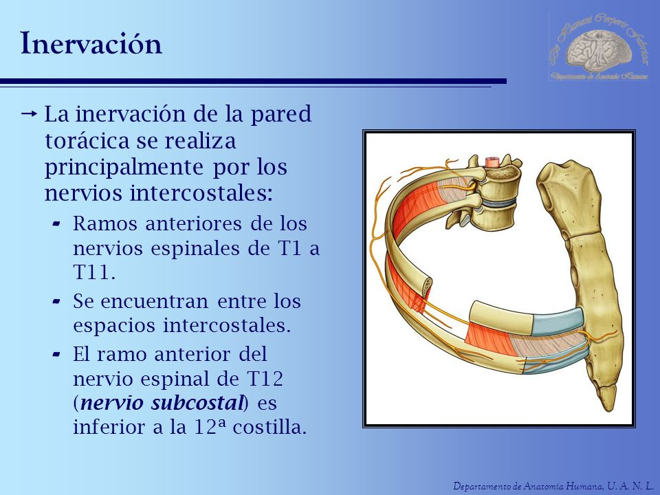 Inervación La inervación de la pared torácica se realiza principalmente por los nervios intercostales: