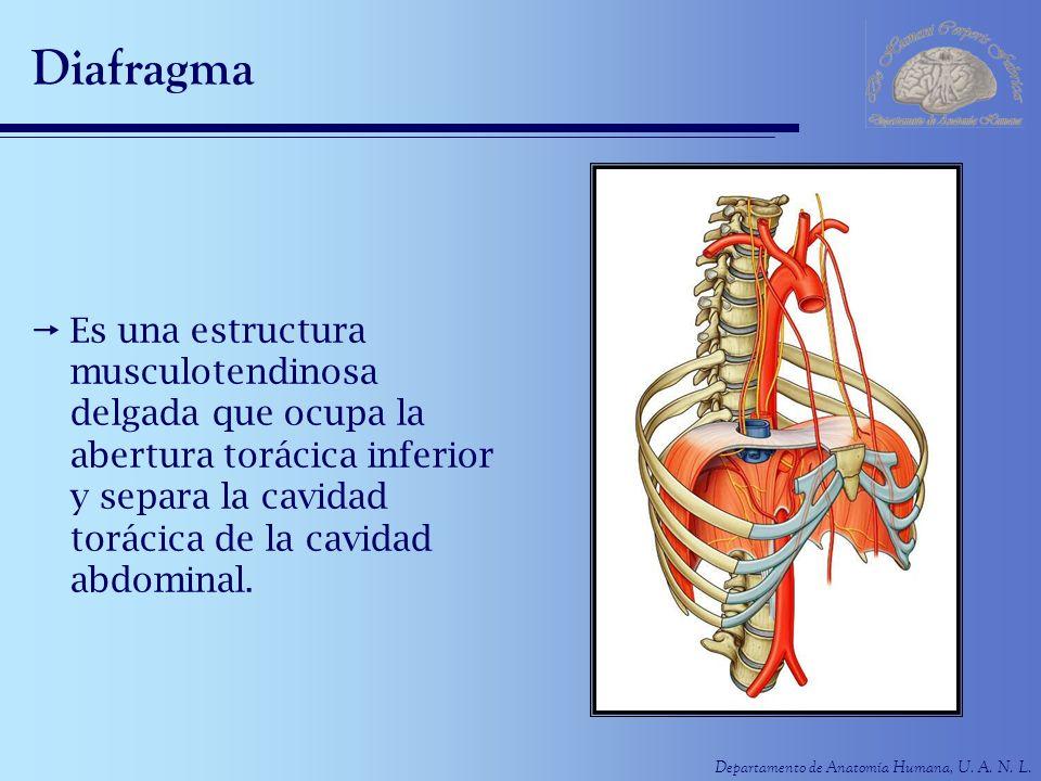 Diafragma Es una estructura musculotendinosa delgada que ocupa la abertura torácica inferior y separa la cavidad torácica de la cavidad abdominal.