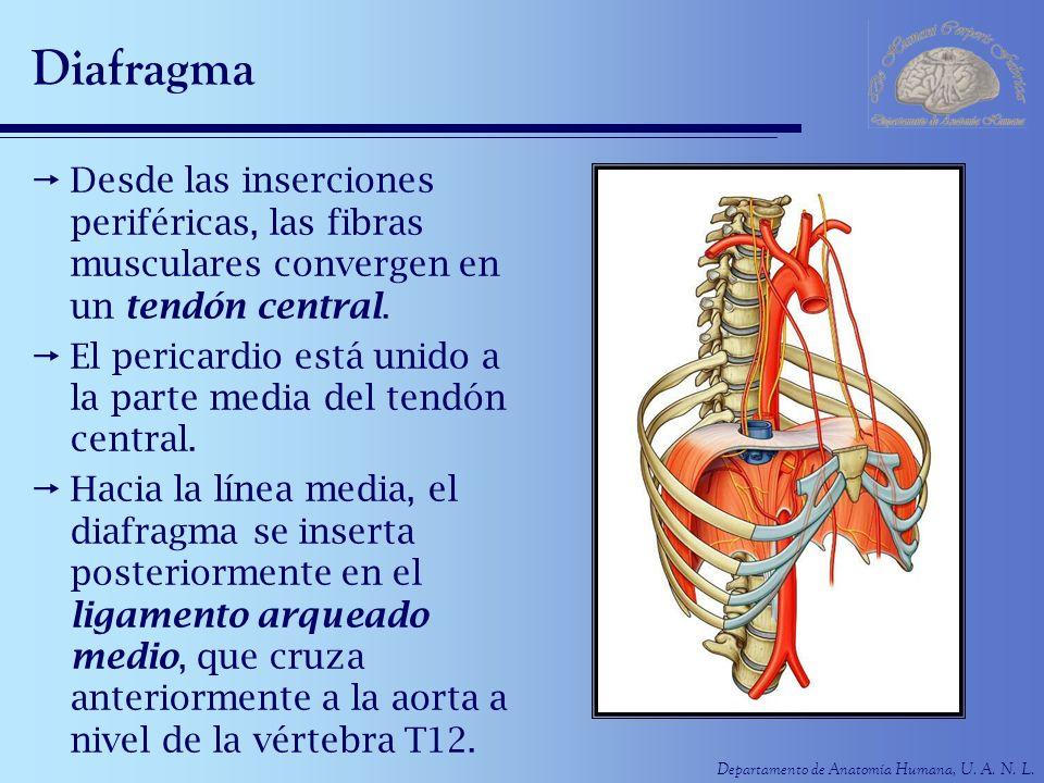 Diafragma Desde las inserciones periféricas, las fibras musculares convergen en un tendón central.