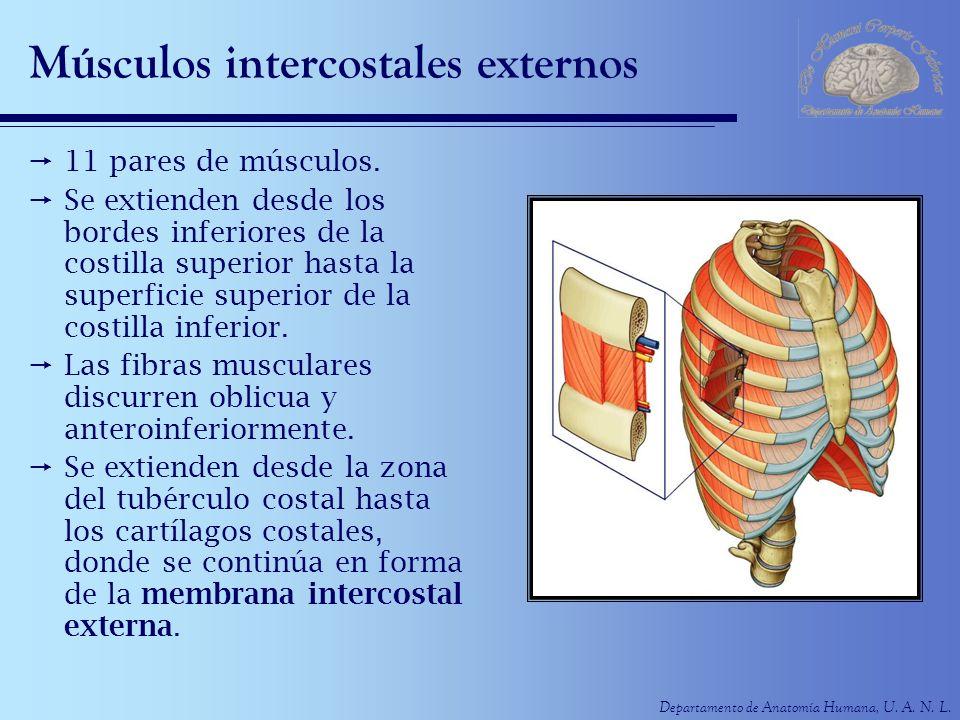 Músculos intercostales externos