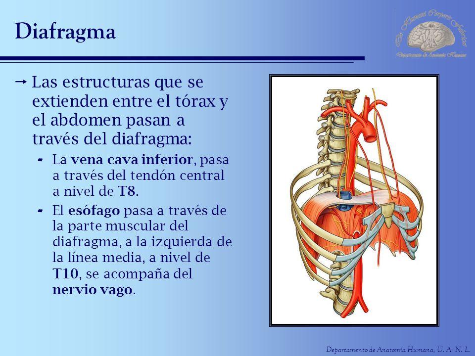 Diafragma Las estructuras que se extienden entre el tórax y el abdomen pasan a través del diafragma: