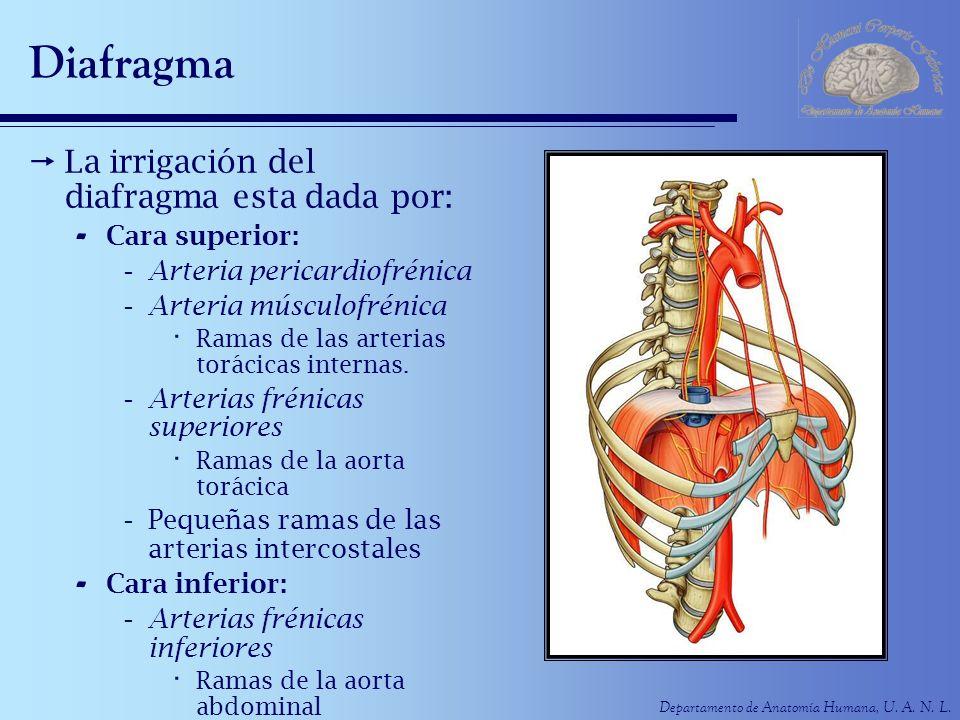 Diafragma La irrigación del diafragma esta dada por: Cara superior: