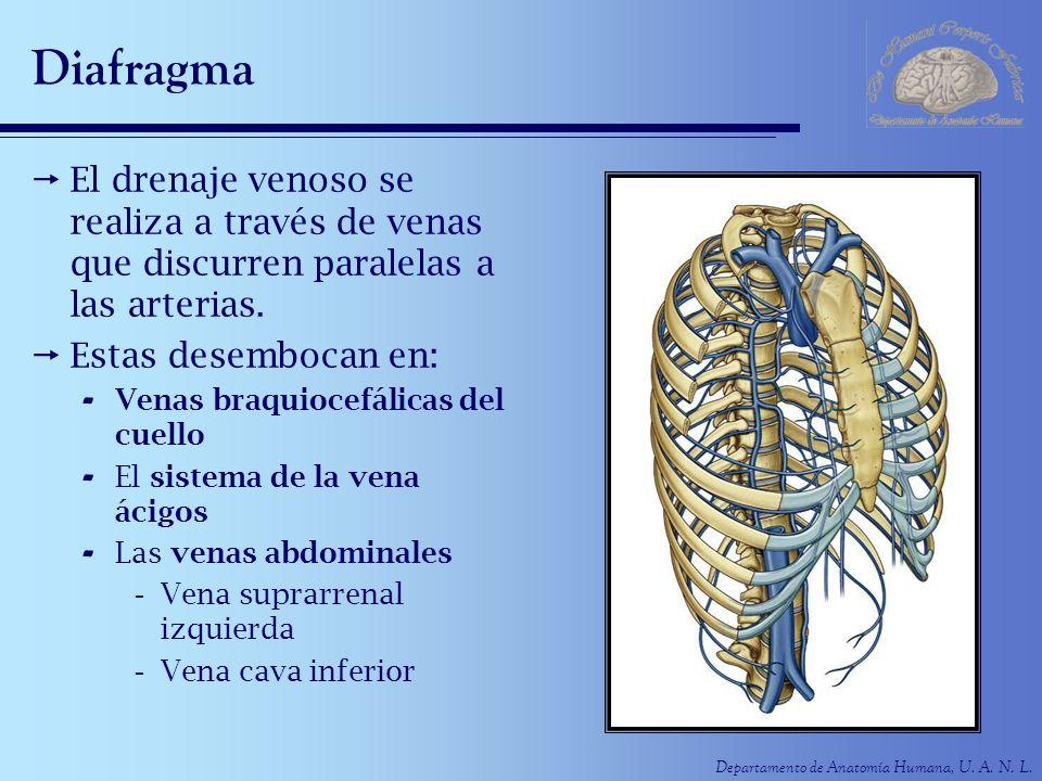 Diafragma El drenaje venoso se realiza a través de venas que discurren paralelas a las arterias. Estas desembocan en: