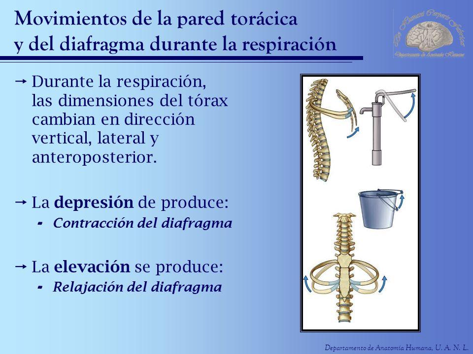 Movimientos de la pared torácica y del diafragma durante la respiración