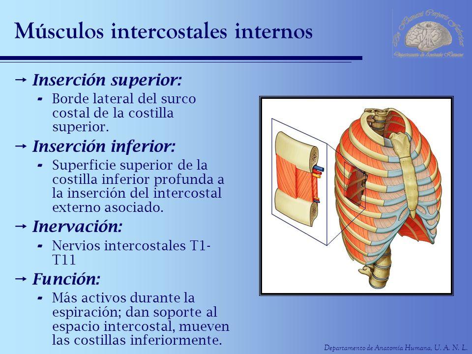 Músculos intercostales internos