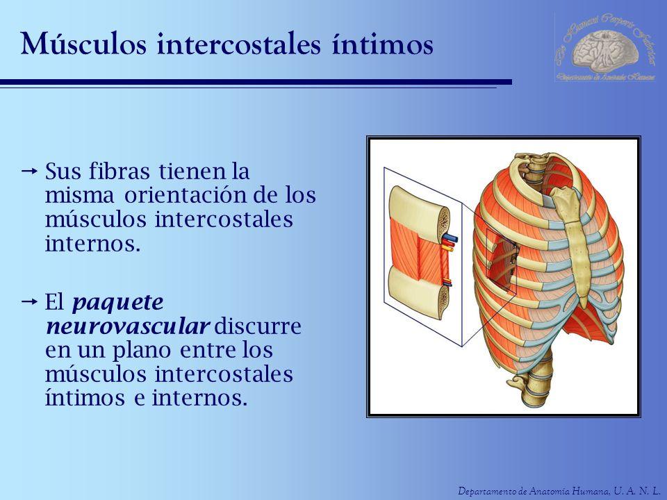 Músculos intercostales íntimos