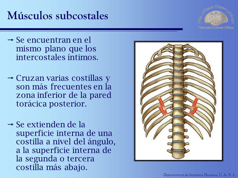 Músculos subcostales Se encuentran en el mismo plano que los intercostales íntimos.