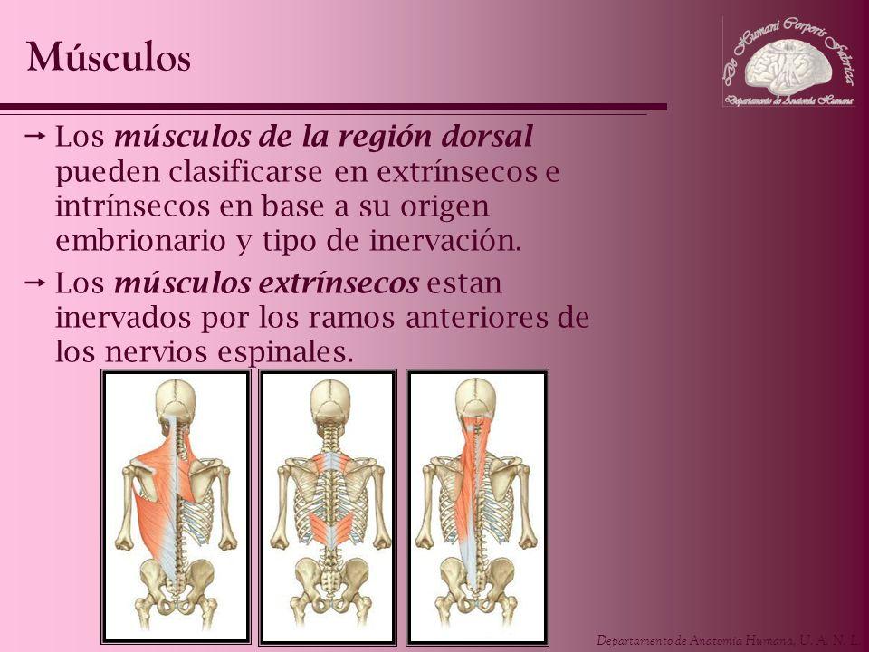 Músculos Los músculos de la región dorsal pueden clasificarse en extrínsecos e intrínsecos en base a su origen embrionario y tipo de inervación.