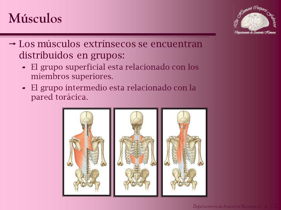 Músculos Los músculos extrínsecos se encuentran distribuidos en grupos: El grupo superficial esta relacionado con los miembros superiores.
