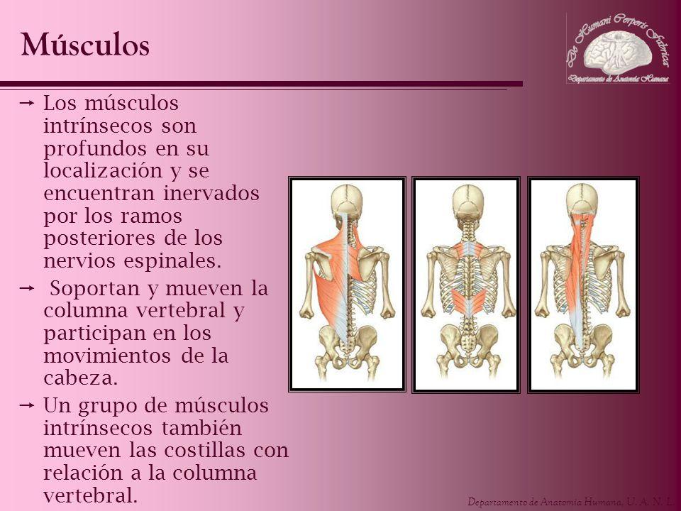MúsculosLos músculos intrínsecos son profundos en su localización y se encuentran inervados por los ramos posteriores de los nervios espinales.