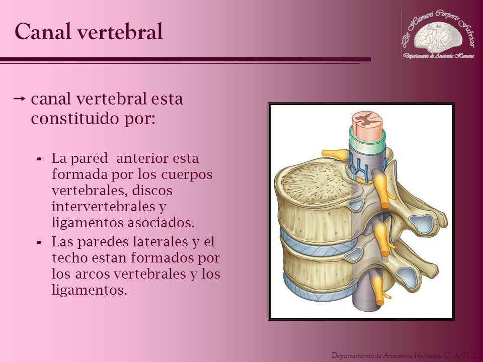 Canal vertebral canal vertebral esta constituido por: