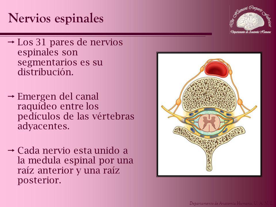 Nervios espinales Los 31 pares de nervios espinales son segmentarios es su distribución.