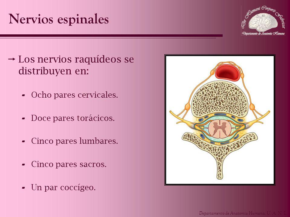 Nervios espinales Los nervios raquídeos se distribuyen en: