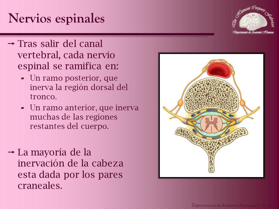 Nervios espinalesTras salir del canal vertebral, cada nervio espinal se ramifica en: Un ramo posterior, que inerva la región dorsal del tronco.