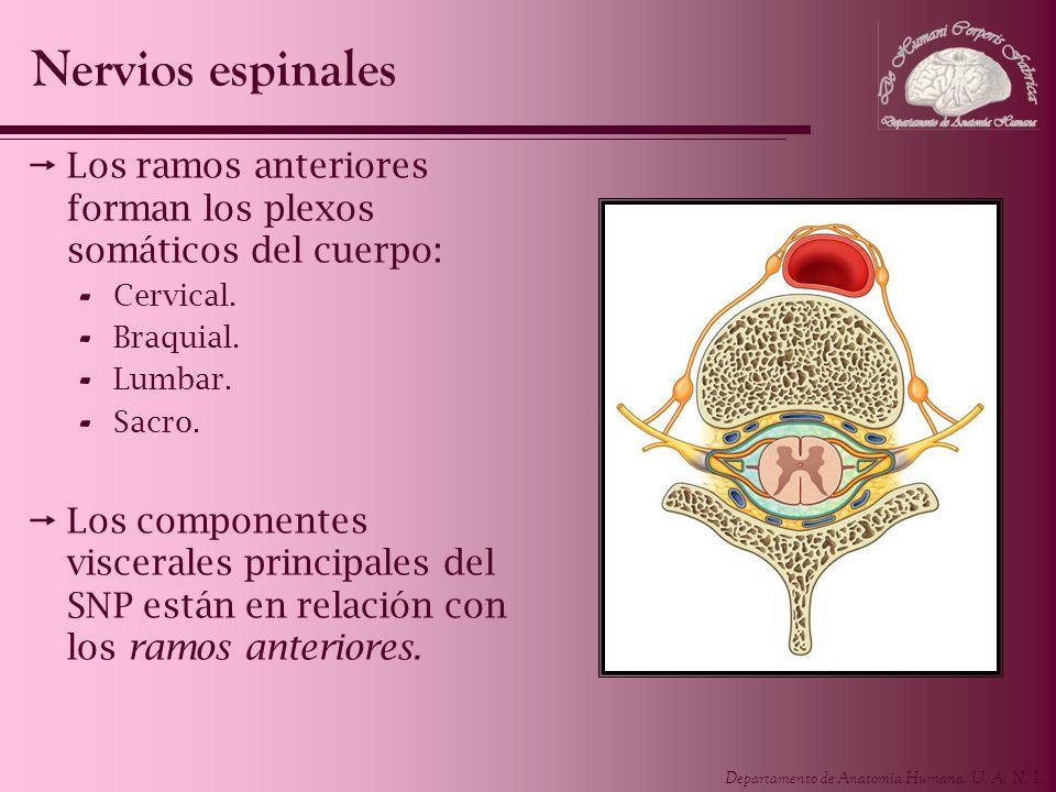 Nervios espinalesLos ramos anteriores forman los plexos somáticos del cuerpo: Cervical. Braquial. Lumbar.