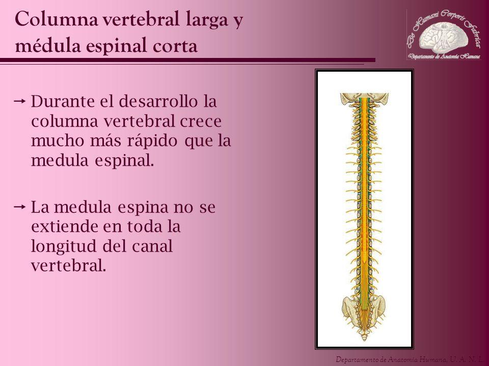 Columna vertebral larga y médula espinal corta