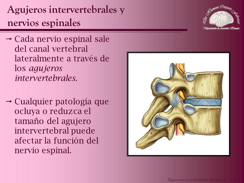Agujeros intervertebrales y nervios espinales