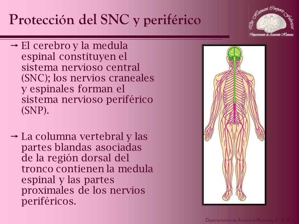 Protección del SNC y periférico
