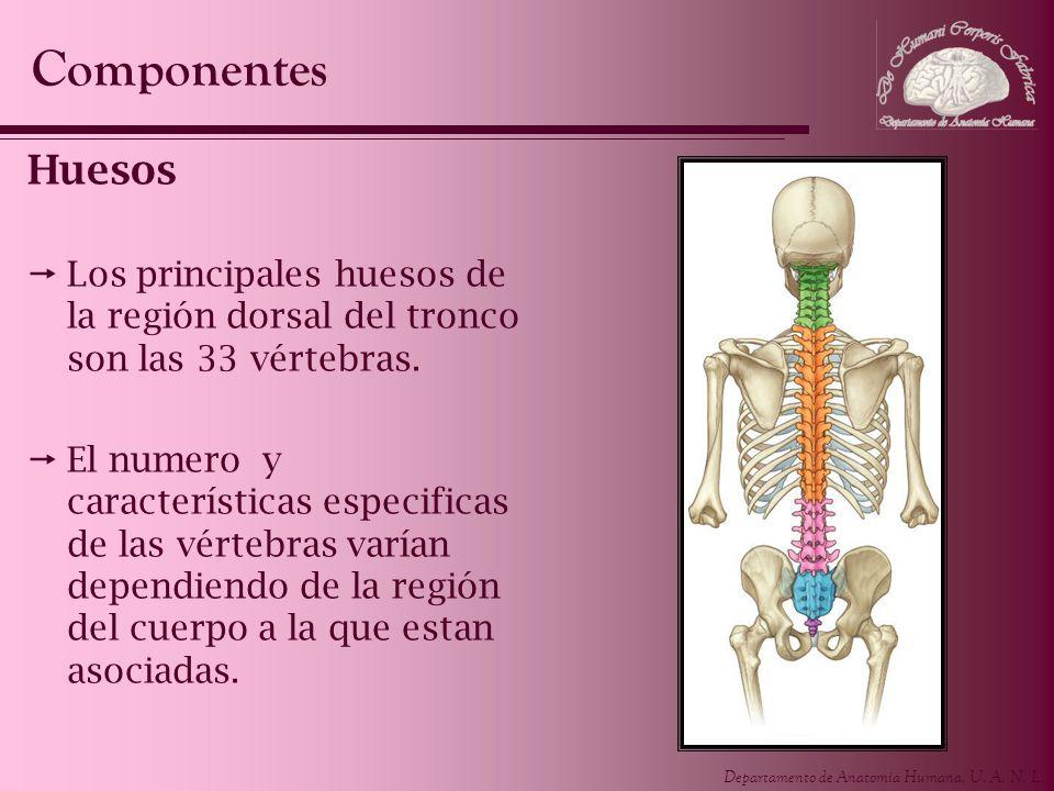 Componentes Huesos. Los principales huesos de la región dorsal del tronco son las 33 vértebras.
