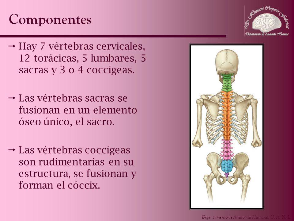 Componentes Hay 7 vértebras cervicales, 12 torácicas, 5 lumbares, 5 sacras y 3 o 4 coccígeas.