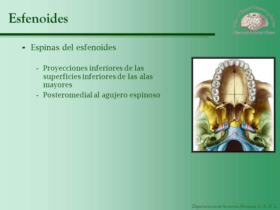 Esfenoides Espinas del esfenoides