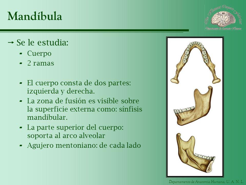 Mandíbula Se le estudia: Cuerpo 2 ramas