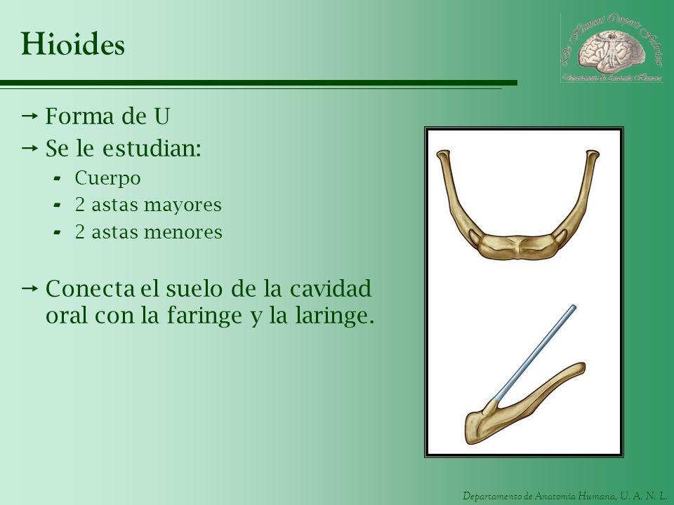 Hioides Forma de U Se le estudian:
