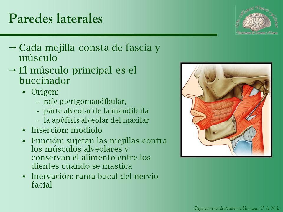 Paredes laterales Cada mejilla consta de fascia y músculo