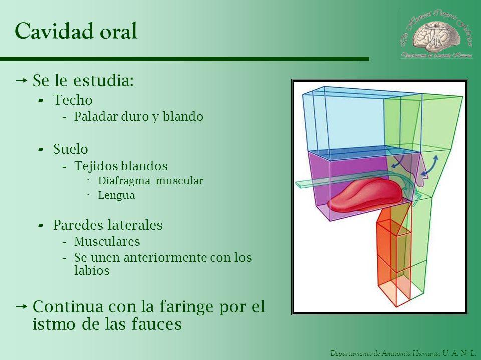 Cavidad oral Se le estudia:
