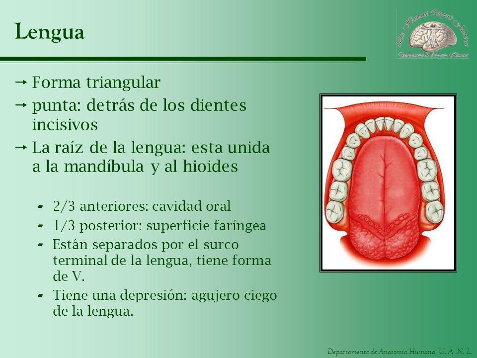 Lengua Forma triangular punta: detrás de los dientes incisivos