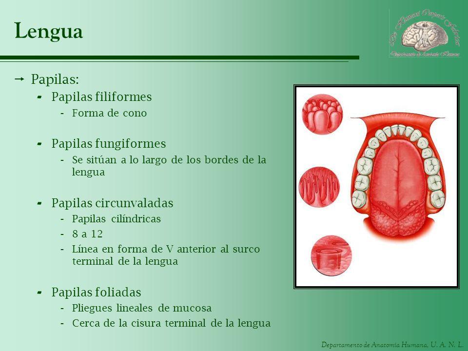 Lengua Papilas: Papilas filiformes Papilas fungiformes