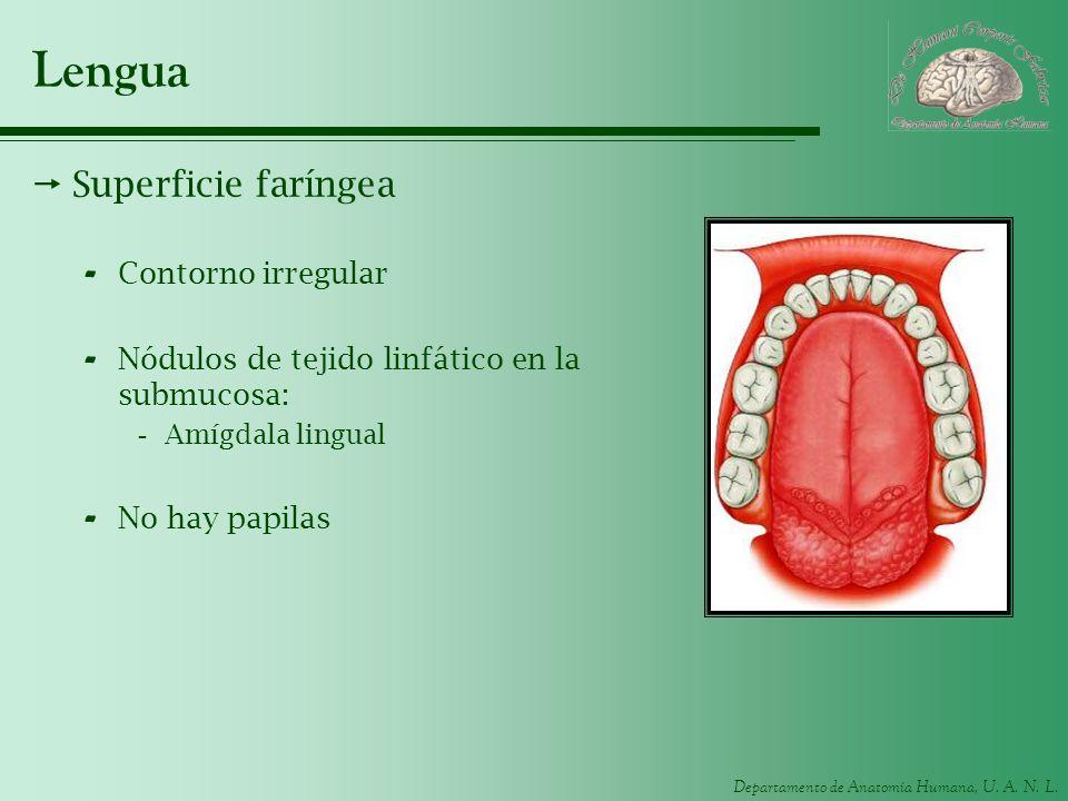 Atractivo Lengua Anatomía Papilas Regalo - Imágenes de Anatomía ...