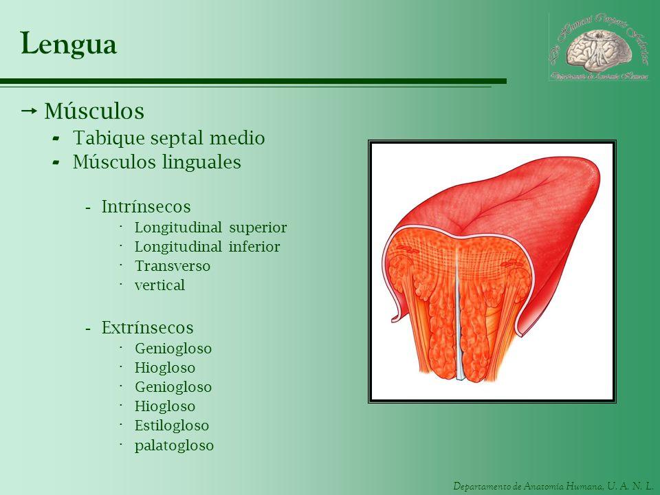 Lengua Músculos Tabique septal medio Músculos linguales Intrínsecos
