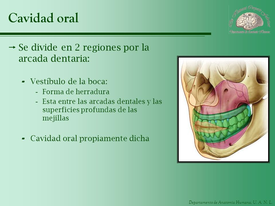 Cavidad oral Se divide en 2 regiones por la arcada dentaria: