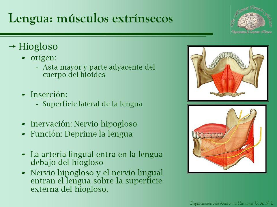 Lengua: músculos extrínsecos