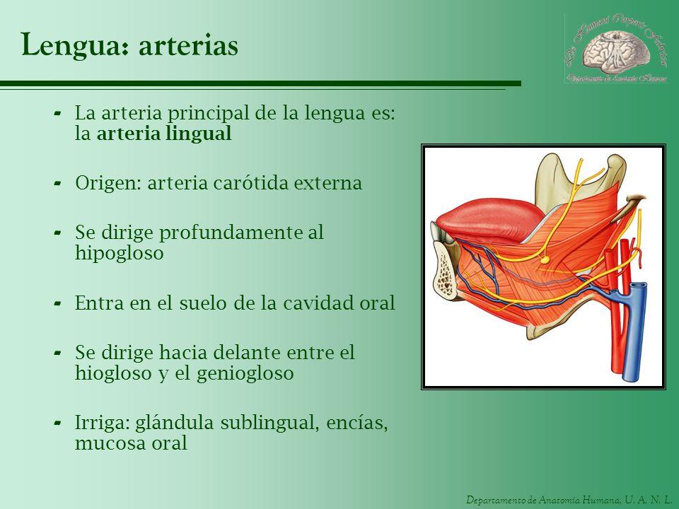 Lengua: arterias La arteria principal de la lengua es: la arteria lingual. Origen: arteria carótida externa.