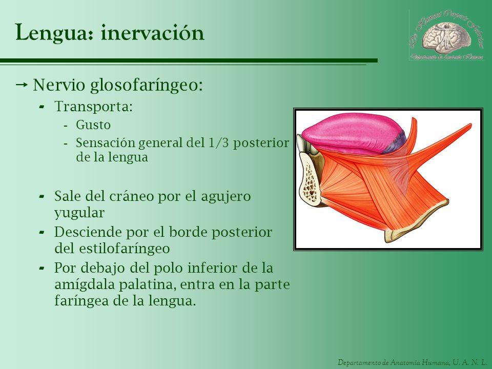 Lengua: inervación Nervio glosofaríngeo: Transporta: