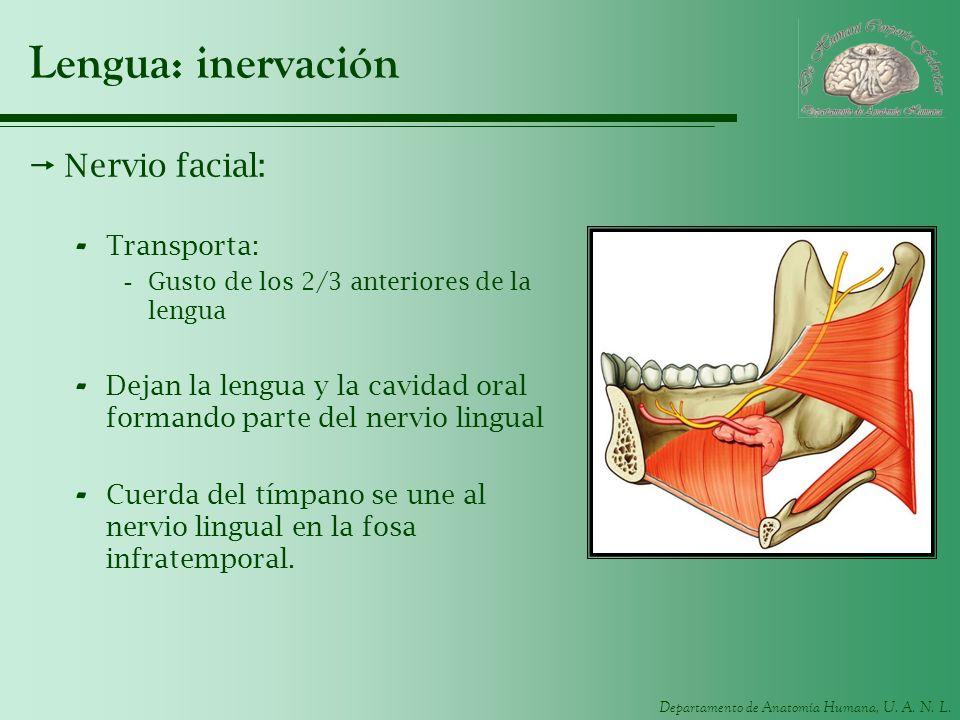 Lengua: inervación Nervio facial: Transporta: